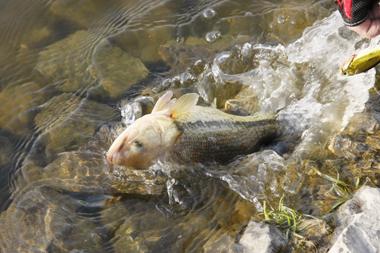 アメリカから来た魚なのでヤンキー魂むき出しのファイトをしてくれる。寒さも吹っ飛ぶ一瞬、この元気を見習いたいね!