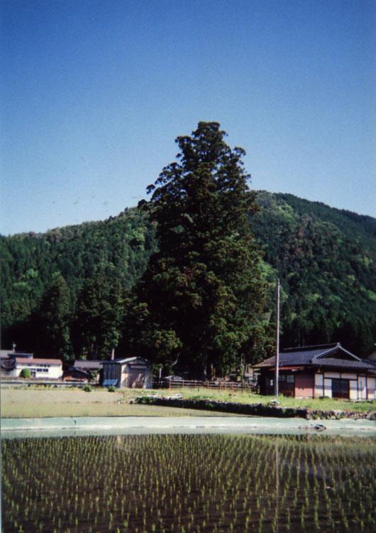 田植えが済んだ田んぼに樹齢約1000年の大杉。日本の原風景です