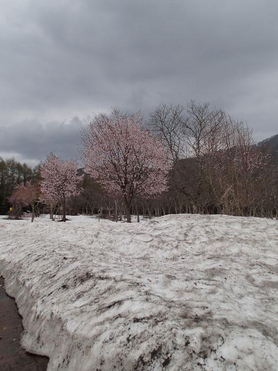 サービスエリアの周辺は桜と雪のコラボレーション。ここは冬なのか春なのか、季節感が薄らいでしまう。まだまだ東北地方は冬だった