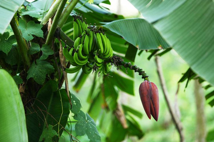 コースサイドのバナナの木