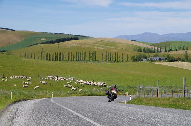13羊さんの群れもお出迎え