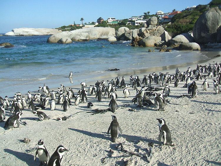 15ケープ半島にはペンギンもいます