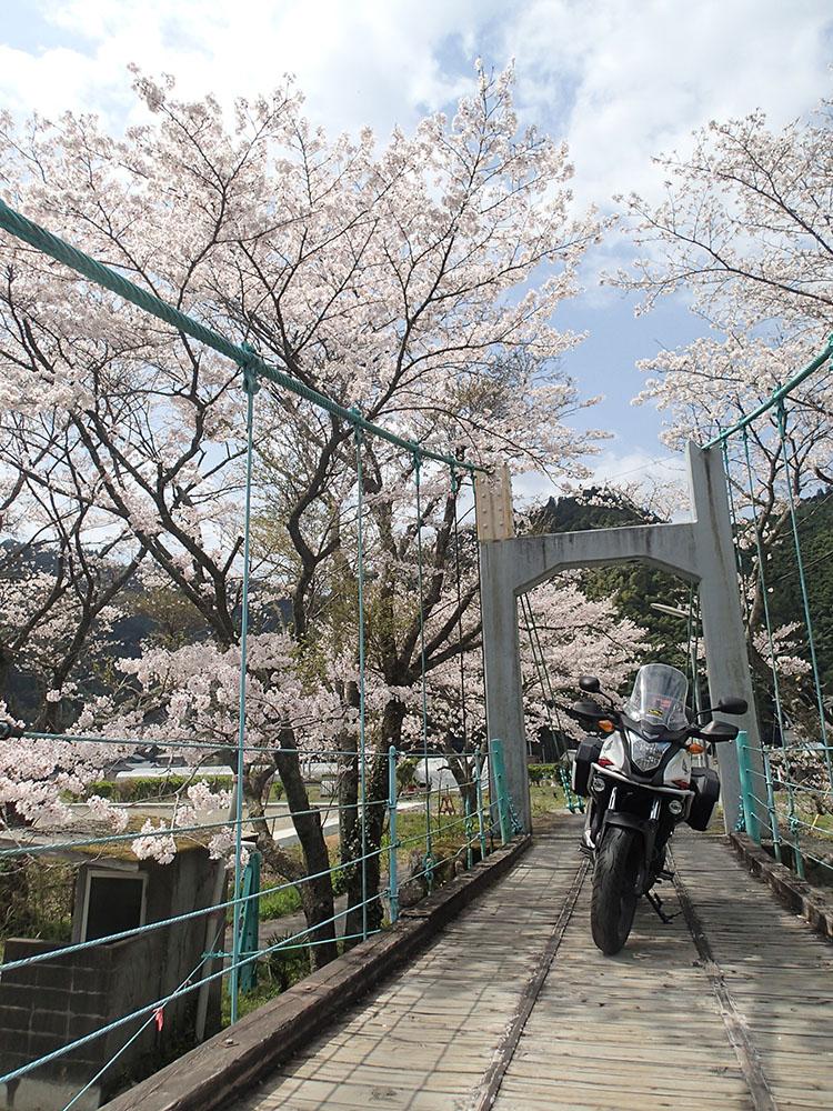 吊り橋と桜並木