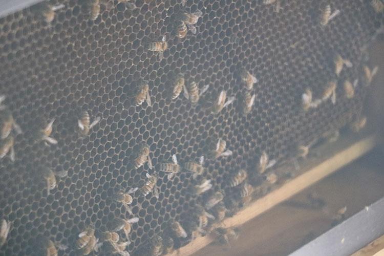 ミュージアムではガラス越しにみつばちを眺めることもできる。展示は季節や状況よって異なる。本物のミツバチを間近で見学できる有償の養蜂見学・体験は要問い合わせだそう