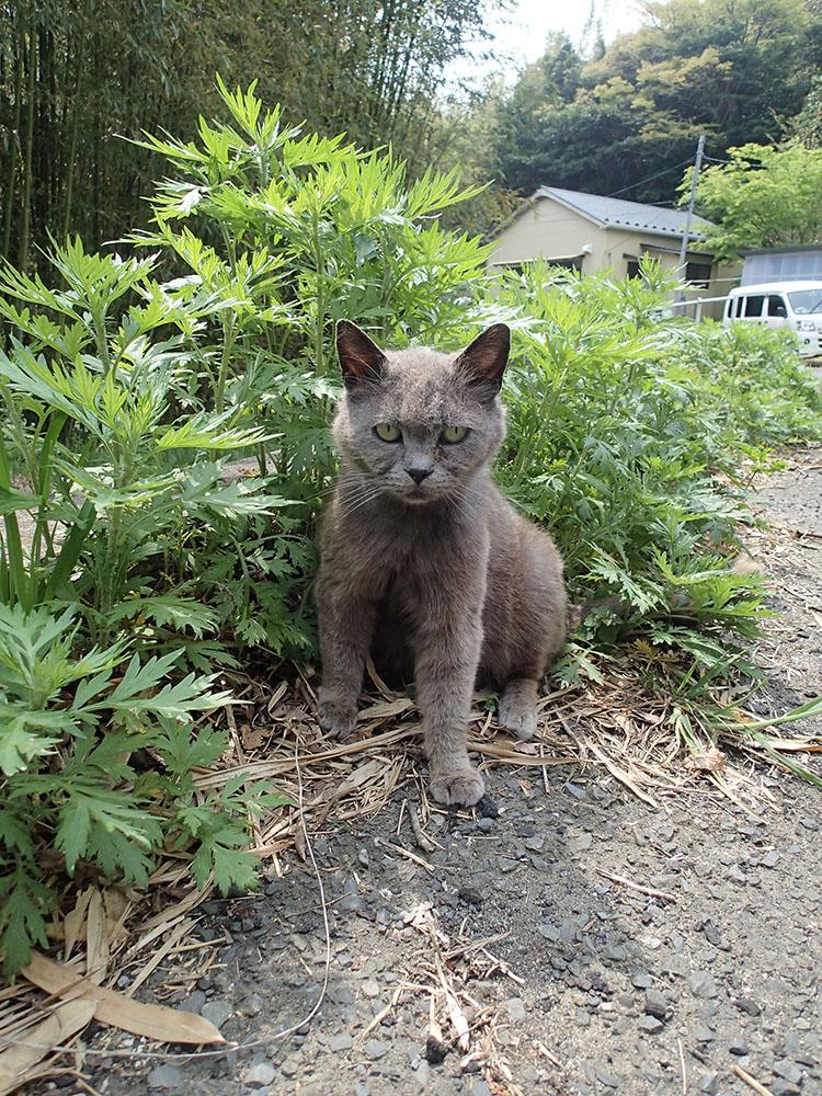 ロマンスグレーの毛色の猫